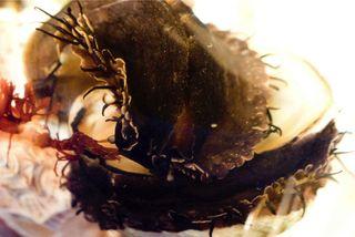 Abalone Shoot