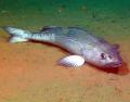 440px-4sablefish_500