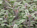 Salvia_officinalis3